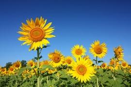 Những loại hoa có tác dụng khai vận phòng làm việc