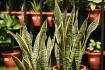 7 cây cảnh phù hợp để trồng trong nhà
